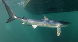 Blue Shark – July 13, 2013