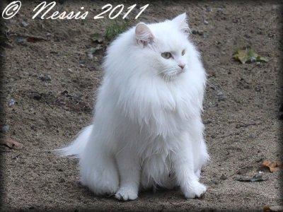 Sibirisk katt IC S*Nikopeja´s Nessa Kasianovna