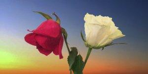 /161230-2-rosor.jpg