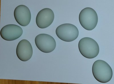 Cream legbar-ägg