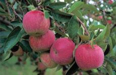 Applethorpe