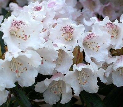 /rhododendron_wardii_var_puralbum.jpg