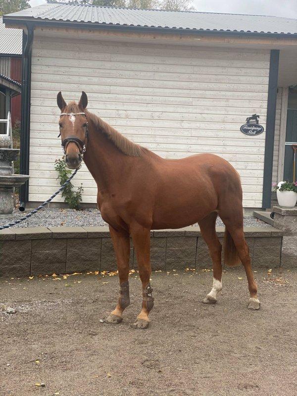 hästar till salu billigt