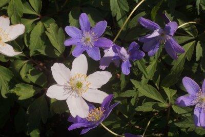/anemone-nemorosa-leeds-variety-150506dsc00665s.jpg