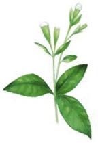 Stevia växt grafik