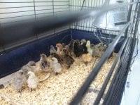 /kycklingar.jpg