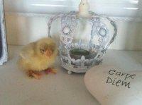 /kyckling-krona.jpg