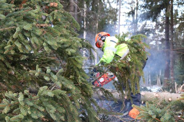 man fäller träd med motorsåg