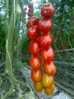 Denne tomatsorten testes ut i dagligvare i Vestfold. Smaken er fantastisk.