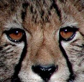 gepard20cubs.jpg