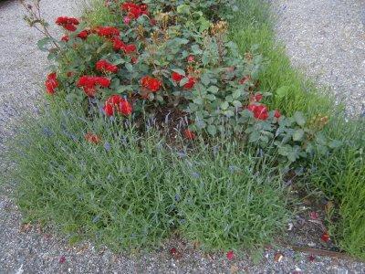 /lavendel-och-rosor.jpg